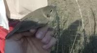 Primera jornada d'anellament científic d'ocells de la temporada